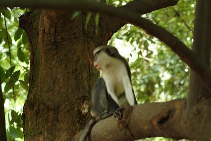 Ecotourisme au benin  et les Singes Mona
