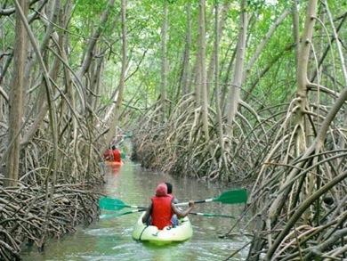 Immersion dans la Mangrove Martiniquaise - Source © Pierre Courtinard