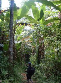 Traversée de la forêt de bananiers