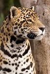 Jaguar d'Argentine (Panthera Onca)