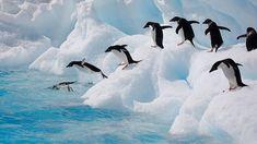 Pingouins Adélie + observation de la faune - © Markren
