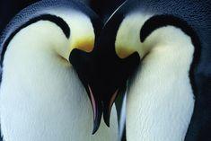 Pingouins Empereurs, ©Wisconsinkow