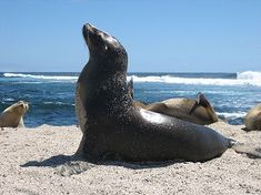 Loup de mer Galapagos