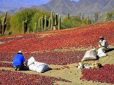 Récolte des poivrons séchés – Nord Ouest Argentin – copyright Terra Patagonia