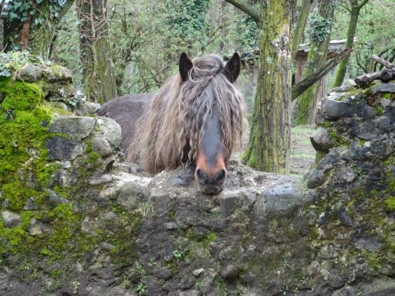 cheval derrière un muret avec une frange qui lui recouvre les yeux