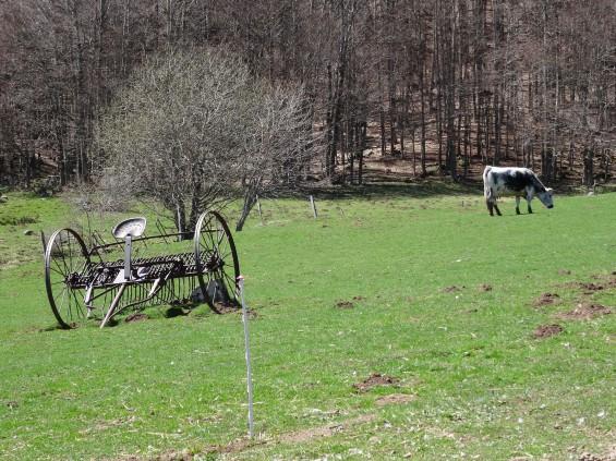 Vestige de charrette tractée et vache broutant dans un pré