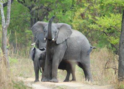 elephant kasanka 2