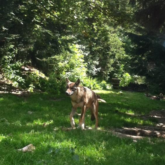 Loup du parc Alpha - Saint Martin de Vésubie
