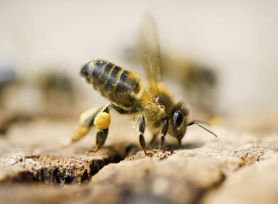 Abeille pollen