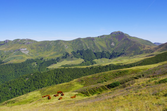 vaches cantalaise