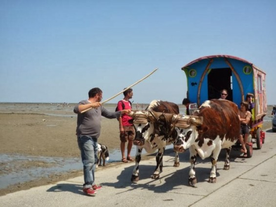 les deux vaches et la roulotte passant le Goix pour arriver à Noirmoutier