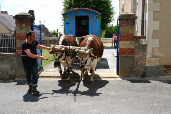la roulotte et l'attelage des deux vaches Normandes partant sur les routes de l'ouest.