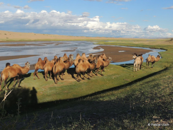 superbe Méharée en Mongolie (crédit Pascal Lluch)