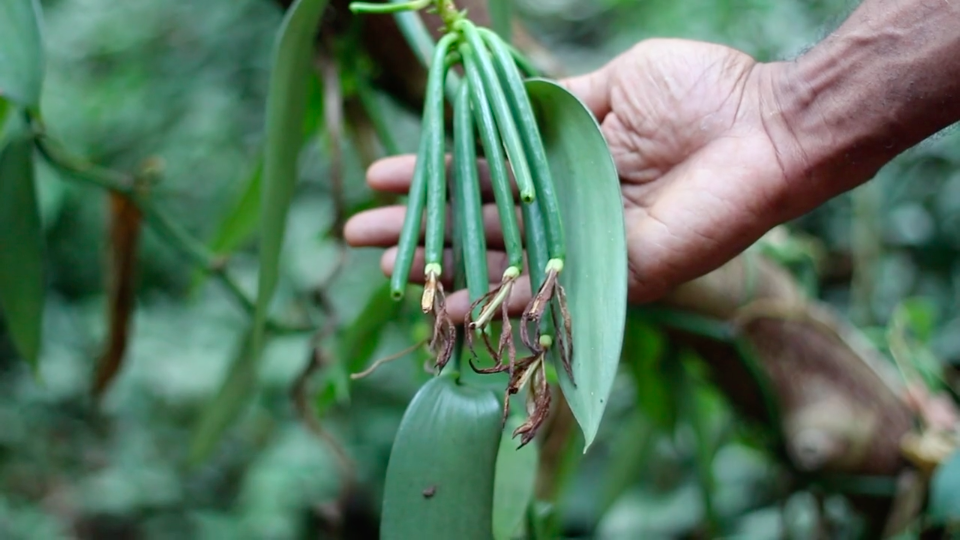 Plantation de vanille du Domaine de Vanibel