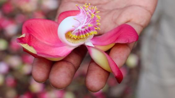 Fleur de Boulet de Canon - Les îles de Guadeloupe