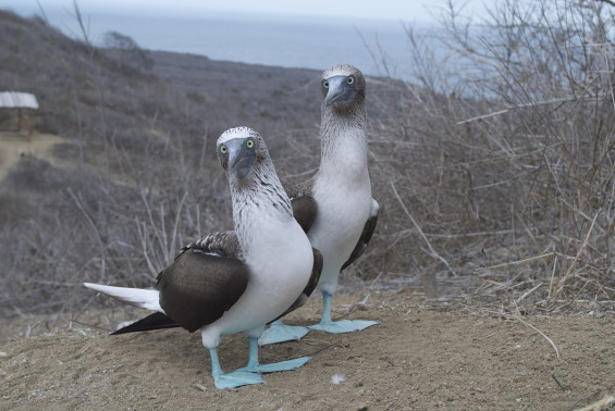 GALAPAGOS-Fous pattes bleues 03