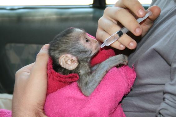Aide à la survie de la faune : un exemple d'un séjour éco-volontaire (ici Cybelle Planète)