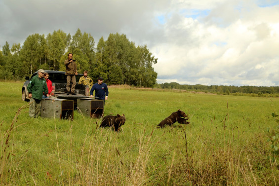 The IFAW Orphan Bear Rehabilitation Center released bear cubs born in 2014 back to their natural habitat in the area where they originate from. On August 28, 2014 two orphan bear cubs, Nestor and Nafanya, were released to the wild in the Nelidovsky District of the Tver region near an abandoned village. The cubs are usually released in pairs based on their characteristics, behavior and sympathy towards each other.
