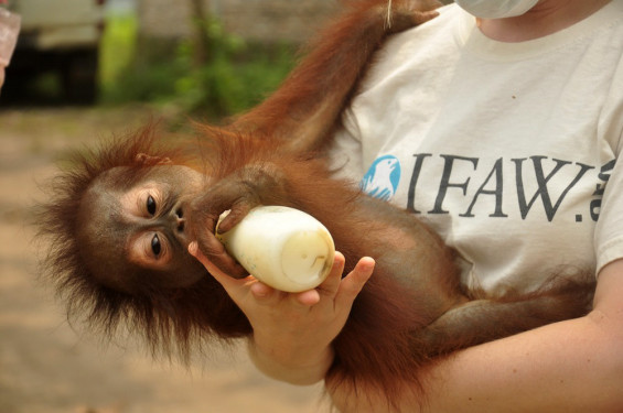 IFAW (International Fund for Animal Welfare) and COP (Center for Orangutan Protection) rescued a young orangutan during wildfires in Indonesia.