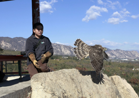 IFAW-BRRC raptor rehabilitator, Steele Shang, releasing a Northern Goshawk back to the wild. The bird was bought from an illegal market and was used in illegal falconry.