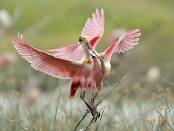 Couple de spatuel rose se pinçant le bec - Costa rica découvertes
