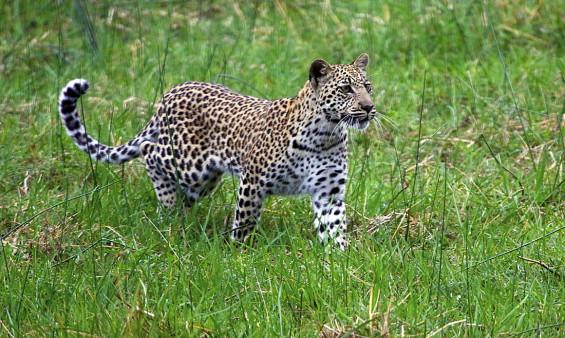 Panthera_pardus-RR-02