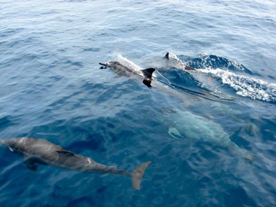 Les dauphins de Musandam
