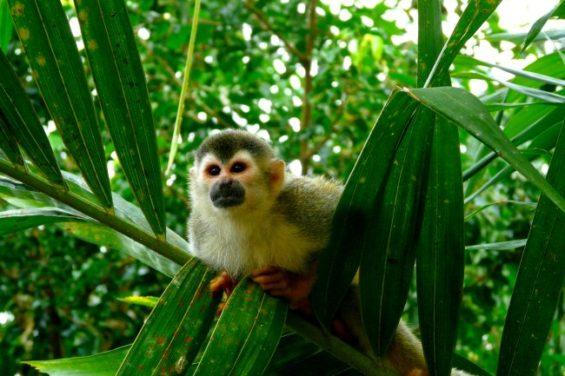 Péninsule d'Osa : un sanctuaire pour les singes