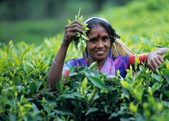 Sri Lanka - Cueilleuse de thé - Pinterest