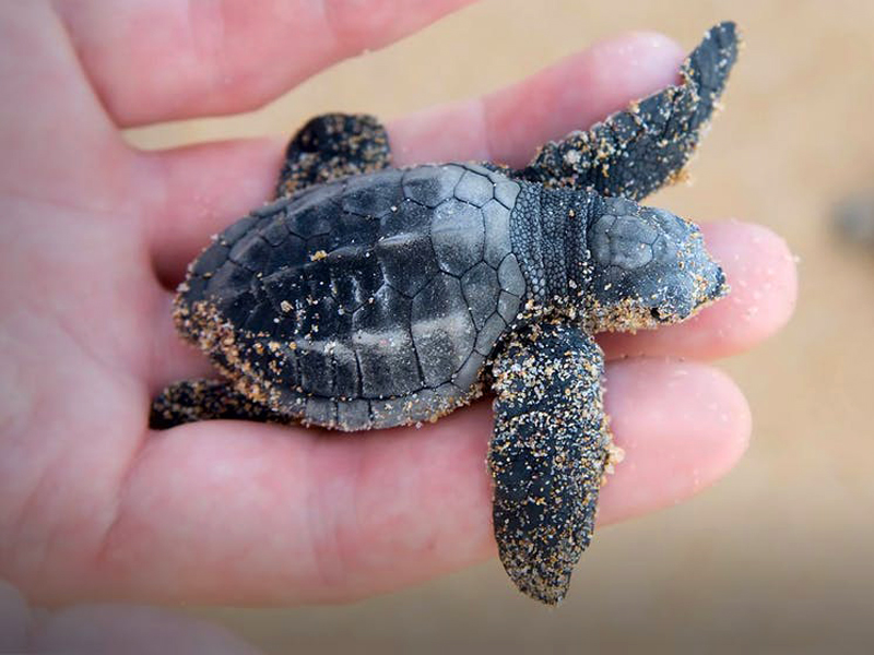 Un projet de réhabilitation de tortues est en cours depuis 2004 au sein de plusieurs hôtels dont le Burj Al Arb, en collaboration avec la Dubaï Wildlife