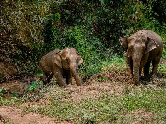 Elephant step Chiang rai