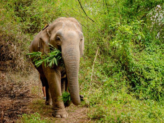 Elephants Step Chiang rai