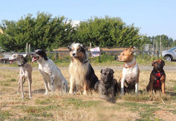 Bande de chiens
