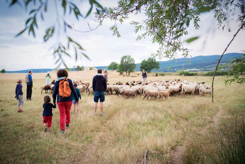 des touristes en famille entourent un troupeau de brebis dans un champ