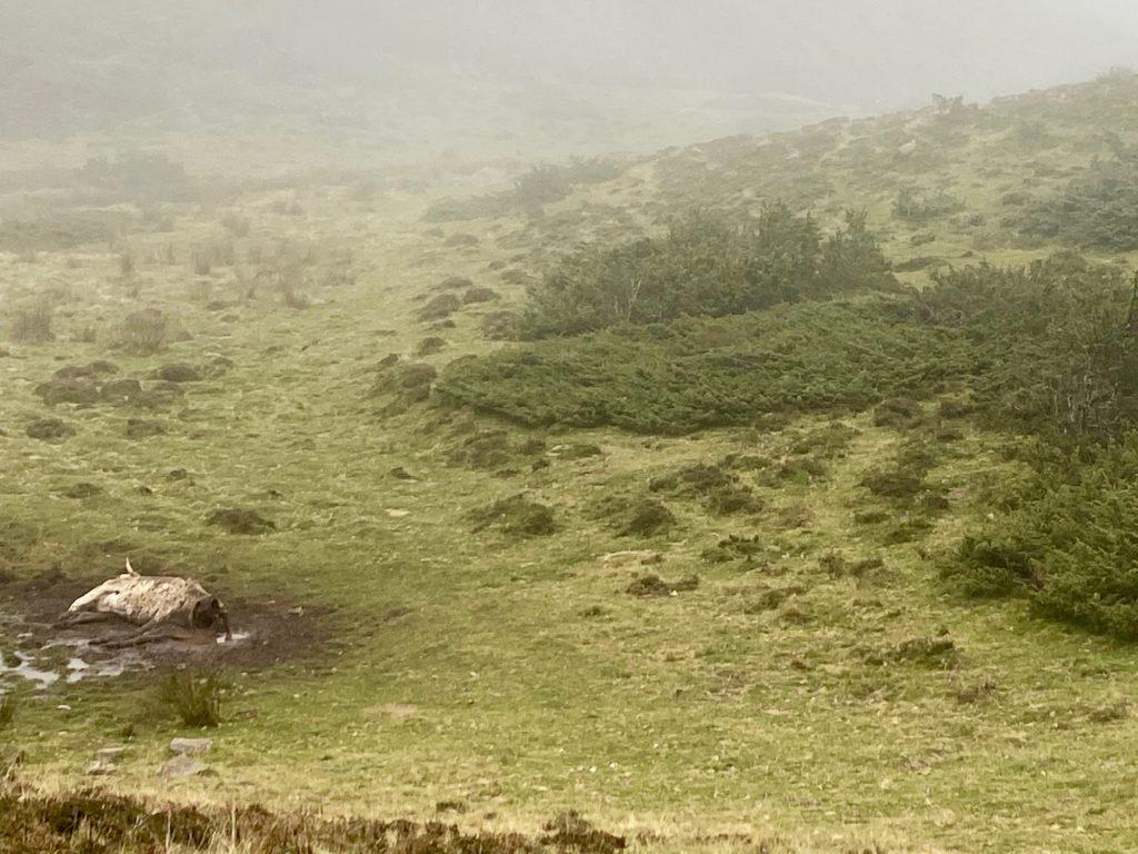 Carcasse de vache et vautour fauve