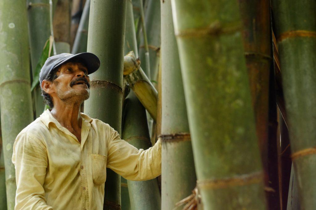Récolte de bambou - Una Bambu - Sri Lanka