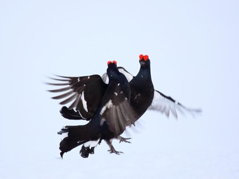 Mercantour-Parc National-nature-faune sauvage-Tétras lyre-hiver