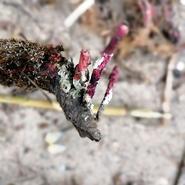 Épiphytes recouvrant les racines d'une Posidonie échouée - Recensés lors d'une balade photos scientifique sur la presqu'île du Gaou avec Mwanga Vagabonde (Copyright Stéphanie Vigetta)