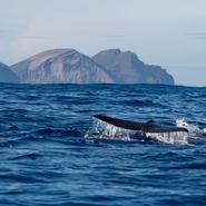 Cachalot (Physeter macrocephalus) qui sonde devant l'île de Pico - Voyage d'observation et d'étude des cétacés aux Açores avec Manga Vagabonde (Copyright Stéphanie Vigetta)