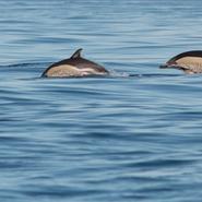 Dauphins communs (Delphinus delphis) - Voyage d'observation et d'étude des cétacés aux Açores avec Manga Vagabonde (Copyright Stéphanie Vigetta)