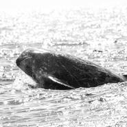 Dauphin de Risso (Grampus griseus) observé près des côtes de l'île de Pico - Voyage d'observation et d'étude des cétacés aux Açores avec Manga Vagabonde (Copyright Stéphanie Vigetta)
