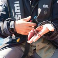 Calmar régurgité par un cachalot et récupéré pour analyses - Voyage d'observation et d'étude des cétacés aux Açores (Faial) avec Mwanga Vagabonde (Copyright Stéphanie Vigetta)