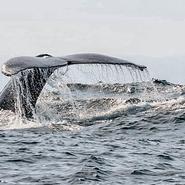 baleine-sagittarius-voyage-volontariat-cétacés