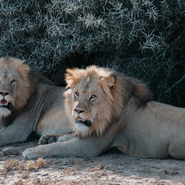 lion-animaux-africain-protection