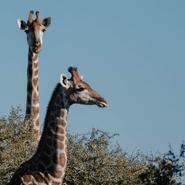 volontariat-afrique-sud-big5-girafe