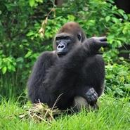 gorille-centre-reintroduction-primates-singes-cameroun-volontariat-sagittarius-voyage