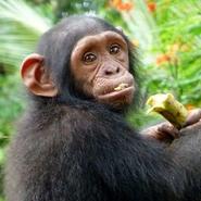 chimpanzé-centre-reintroduction-primates-singes-cameroun-volontariat-sagittarius-voyage
