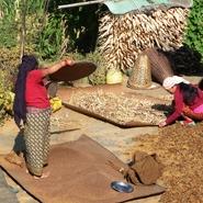 Népal Femmes récolte