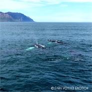 Baleines dans le fjord