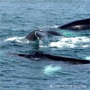 Rencontre avec les baleines à bosses